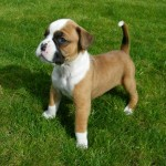 The Top 4 Best Family Dog Breeds